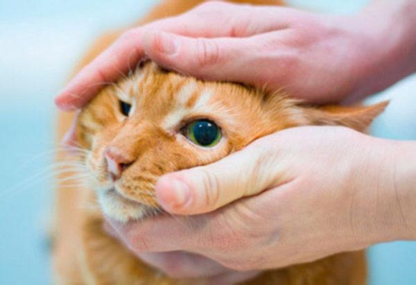 Как правильно закапать кошке глаза