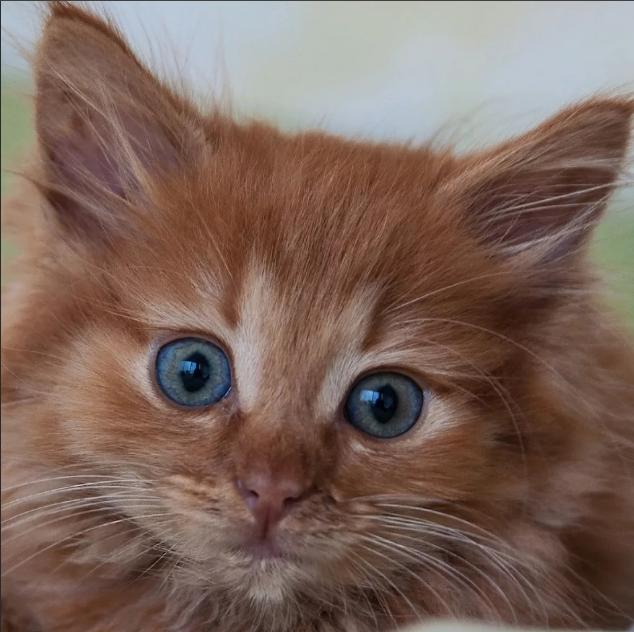 Рыжие коты в доме - что они несут народные приметы