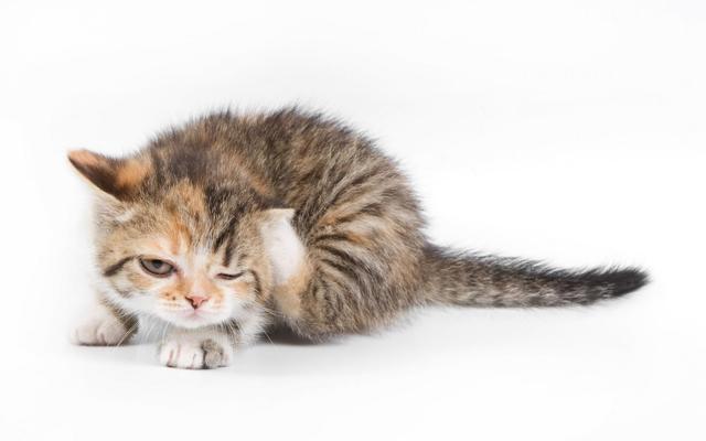 6 причин почему котенок чешет ухо - что делать