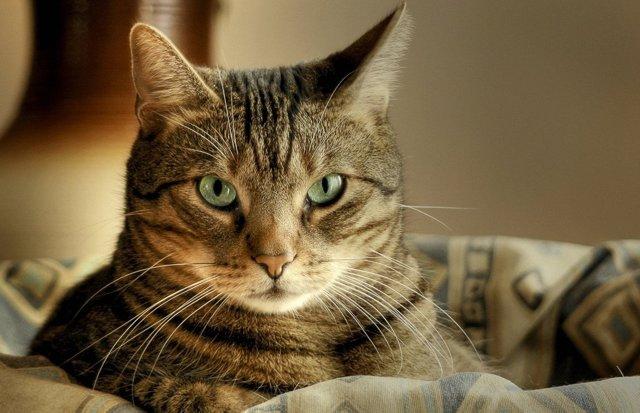 Метронидазол для кошек - инструкция по применению, дозировка