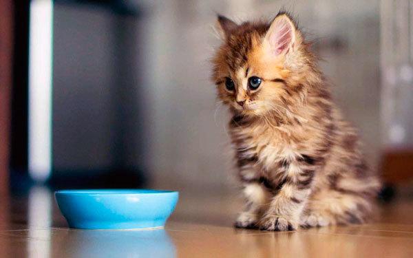 Рвота у котенка - что делать, причины, лечение