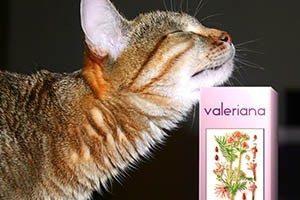 Как влияет валерьянка на котов - действие препарата