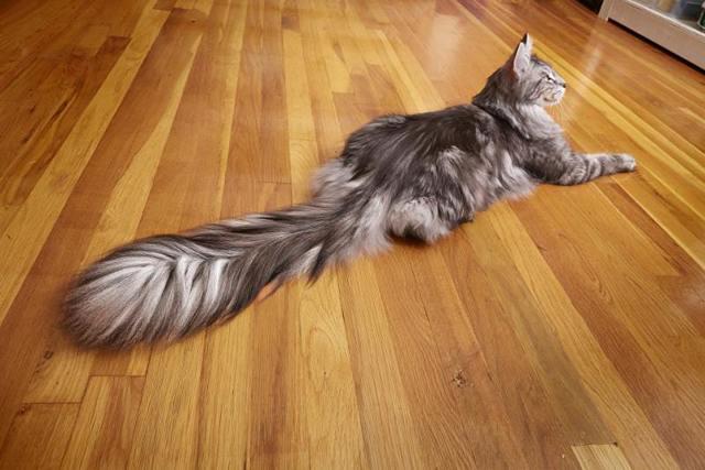 У кота болит хвост - причины, симптомы, лечение