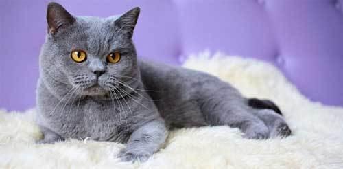 Серый кот - фото, описание и характеристика породы