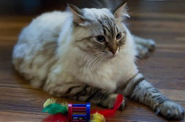 Пукают ли кошки - причины метеоризма
