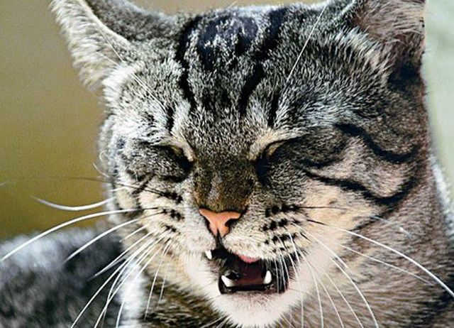 6 причин почему у кота красный нос - причины и лечение