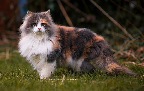 Почему не бывает трехцветных котов