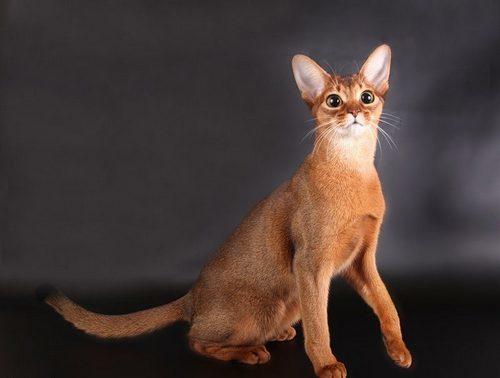 Рыжие коты - характер и повадки