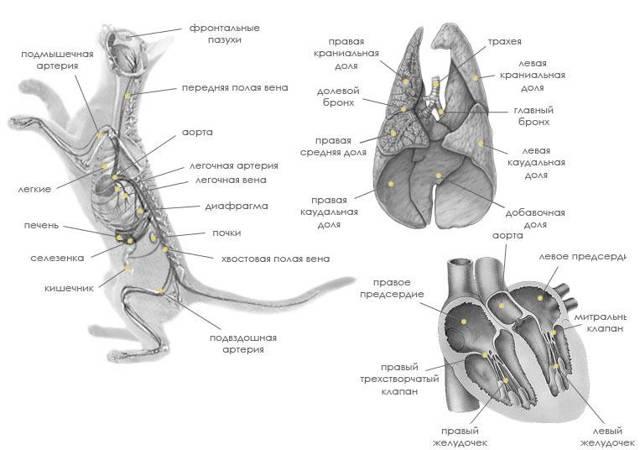 Сердце кошки - строение, анатомия, фото