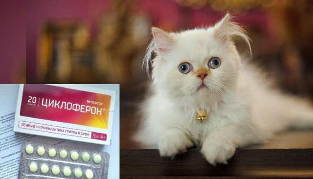 Циклоферон для кошек - инструкция по применению препарата