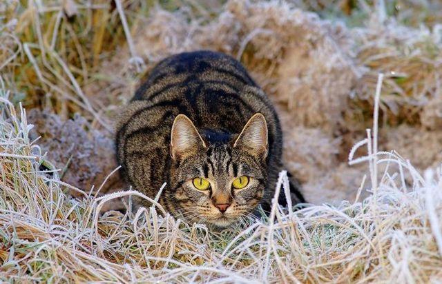 Опух сосок у кошки - причины и лечение