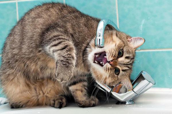 Почему кот пьет воду из под крана?