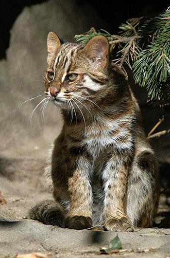 Амурский лесной кот - фото, описание и характеристика породы
