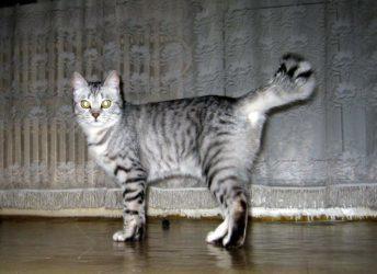 Залом хвоста у кошек - причины и что делать?