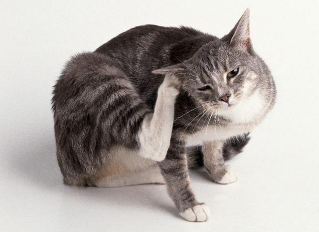 Куда лучше капать капли от блох кошке