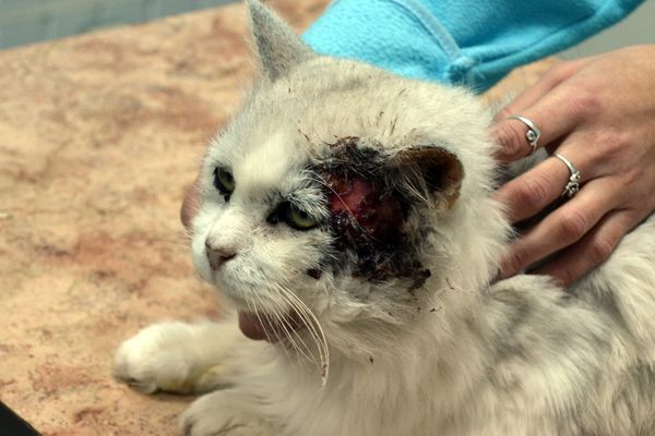 Плоскоклеточный рак у кошек: симптомы и лечение