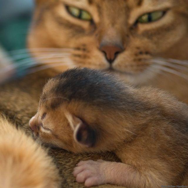 Сколько котят может родить кошка в первый раз - от чего зависеть