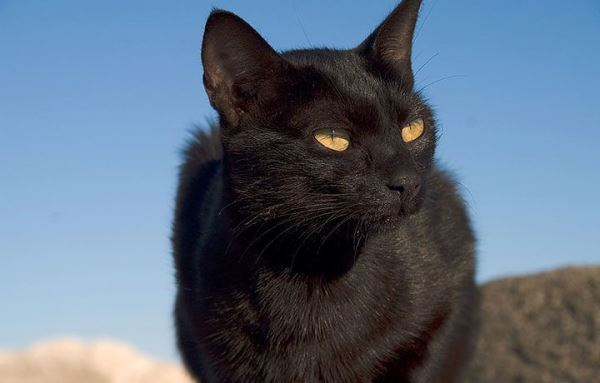 Как назвать черного кота - имена для котенка мальчика