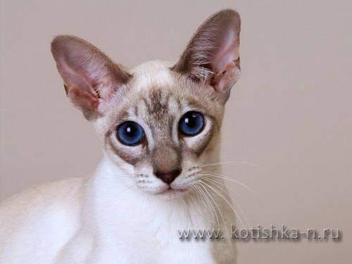 Уход за ушами кошки - как чистить, этапы чистки