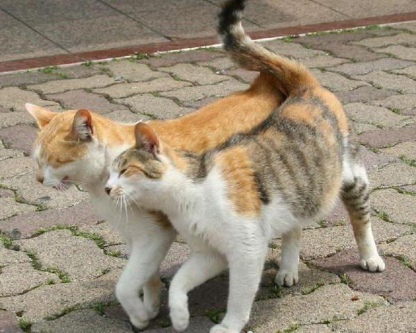 Кошка просит кота - что делать и как успокоить