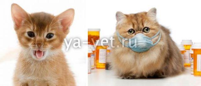 Почему кот хрюкает: причины и что делать