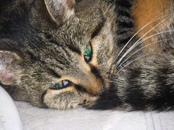 6 причин почему у кота понос с кровью - чем лечить