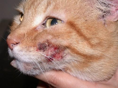 Атопический дерматит у кошек - симптомы, лечение, диагностика