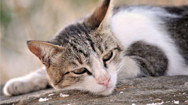 У кота увеличены почки - причины и что делать