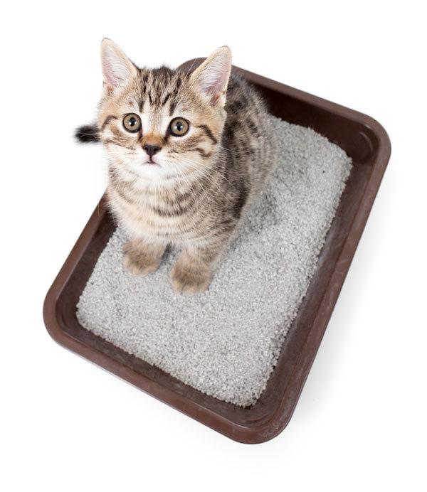 Котенок не ходит в туалет по большому - причины и что делать