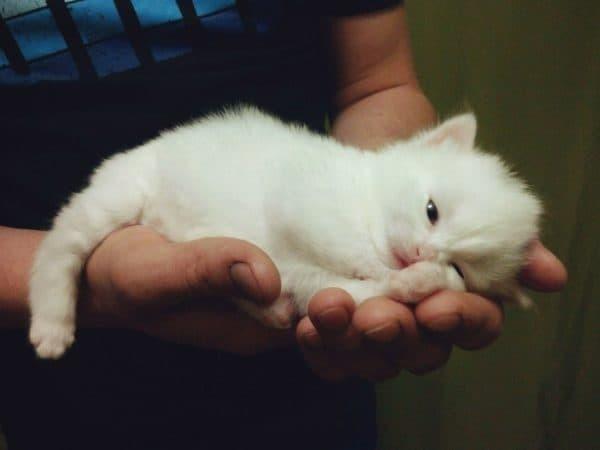 Как назвать белого котенка мальчика и девочку - 70 кличек