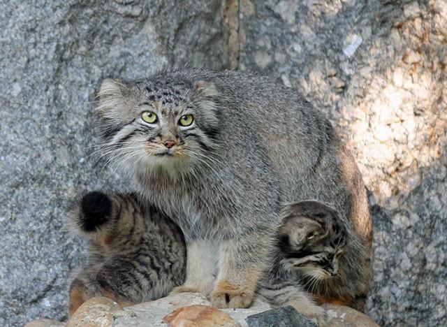 Кот манул в домашних условиях - можно ли держать дома