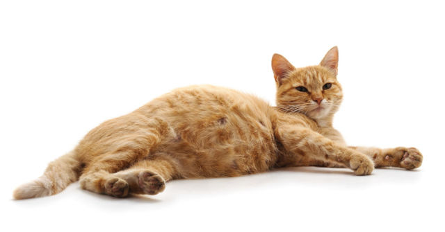Сколько котят может родить кошка - плодовитость кошки