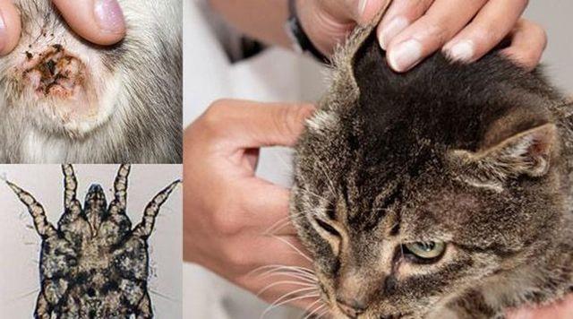 У кота воняет из уха - 4 причины, лечение, профилактика