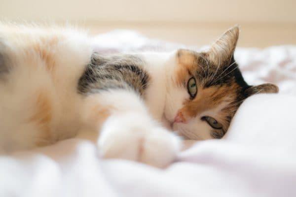 Кошка писает на кровать - причины и как отучить кота?