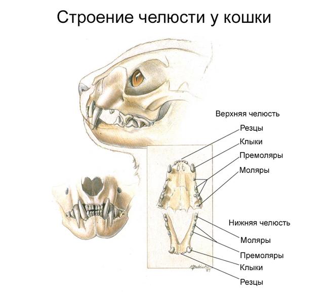 Зубы у кошек - строение, анатомия, фото