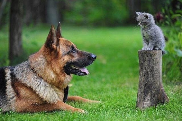 Как подружить собаку с котенком - основные правила