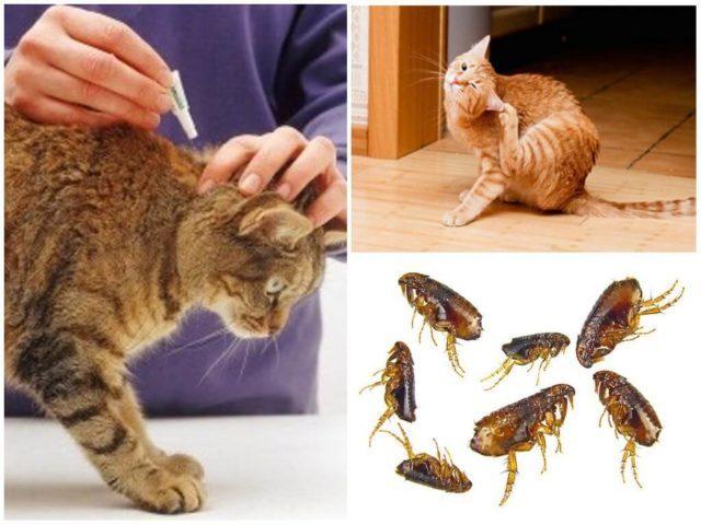 Откуда у домашней кошки блохи - пути заражения, как бороться