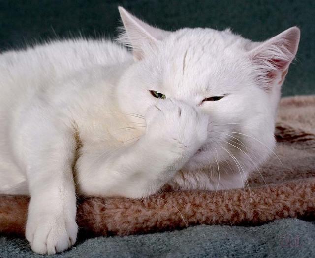 18 причин почему кот часто чихает - что делать