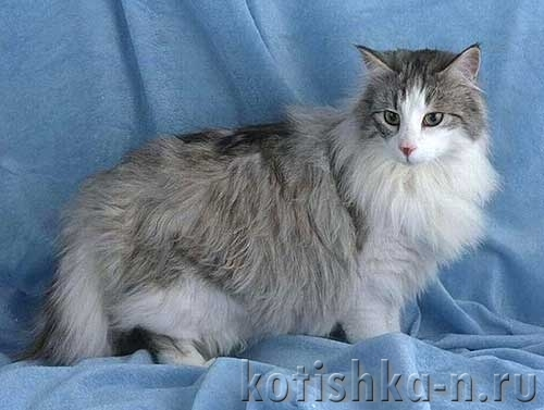8 причин почему у кота выпадает шерсть клоками - что делать