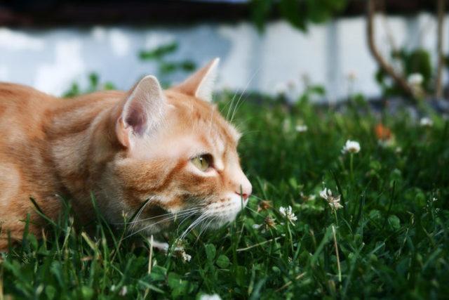 Фелиферон для кошек - инструкция по применению препарата