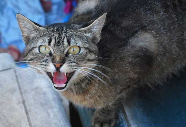 Кот рычит и шипит - причины и лечение