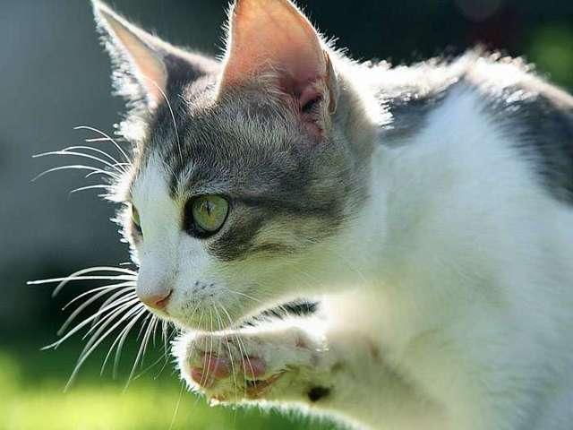 Причины почему кошка прячет нос