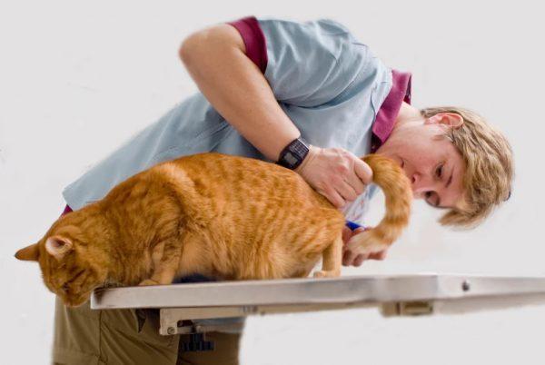 4 причины появления геморроя у кошек - симптомы и лечение