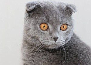 Лосьон для чистки ушей у кошек