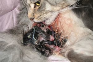 Что делать если кошка не может разродиться - как помочь при родах