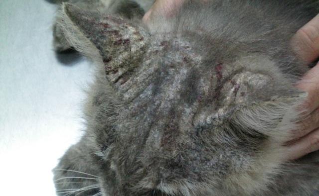 Нотоэдроз у кошек - симптомы, фото и лечение