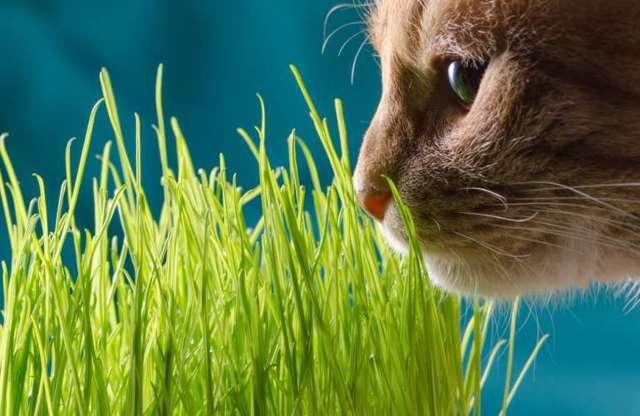 Какую траву любят кошки и почему