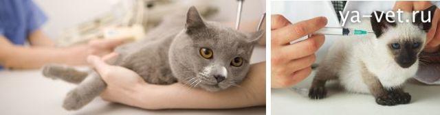 Нужно ли делать прививки домашним кошкам - этапы вакцинации