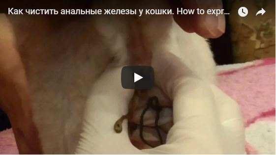 Чистка параанальных желез у кошек - как правильно и периодичность процедур