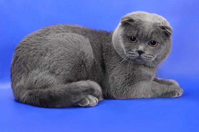 Самые добрые породы кошек - ТОП-14